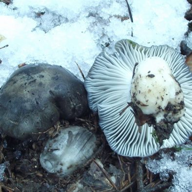 Mazuelos en la nieve